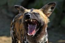 hyena-2323344_1280 from Pixabay