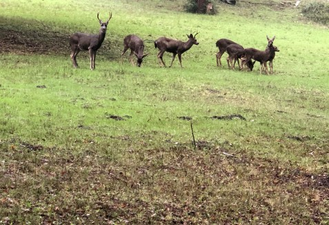 herd of deer on midway ranch